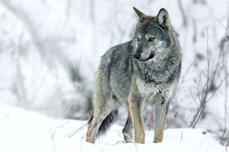 Grey Wolf at wintertime by Grzegorz Leśniewski