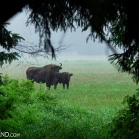 Watching The European Bison - Cautious Cow With Young At The Meadow In The Białowieża Forest, Photo By Andrzej Petryna