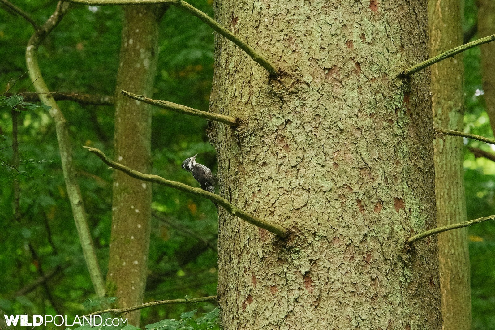 Three-toed woodpecker in the Białowieża Forest, photo by Andrzej Petryna