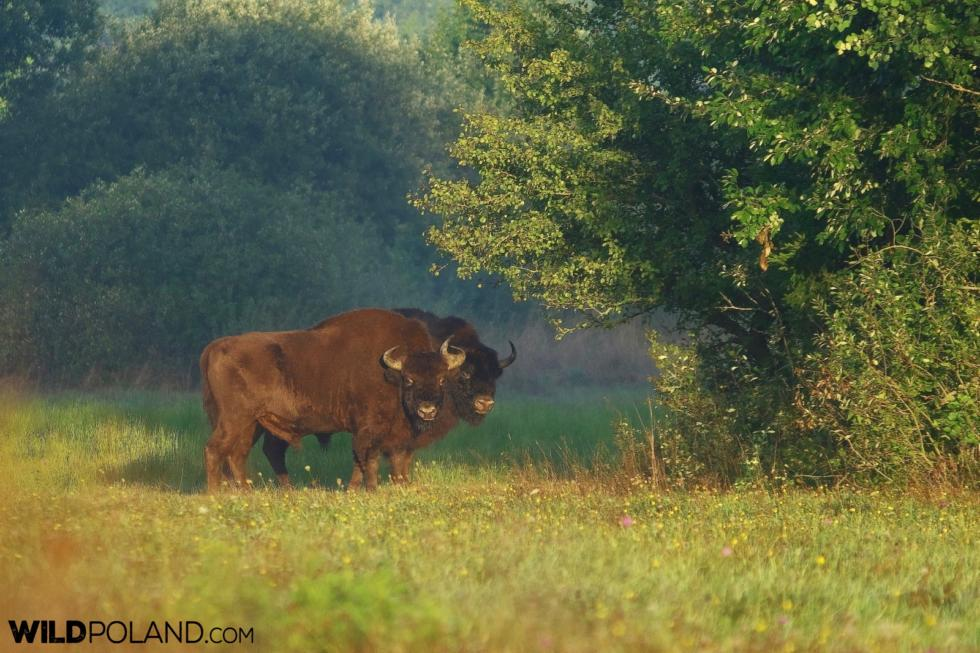 Bison Bulls At Sunrise, Białowieża Forest, Photo By Andrzej Petryna