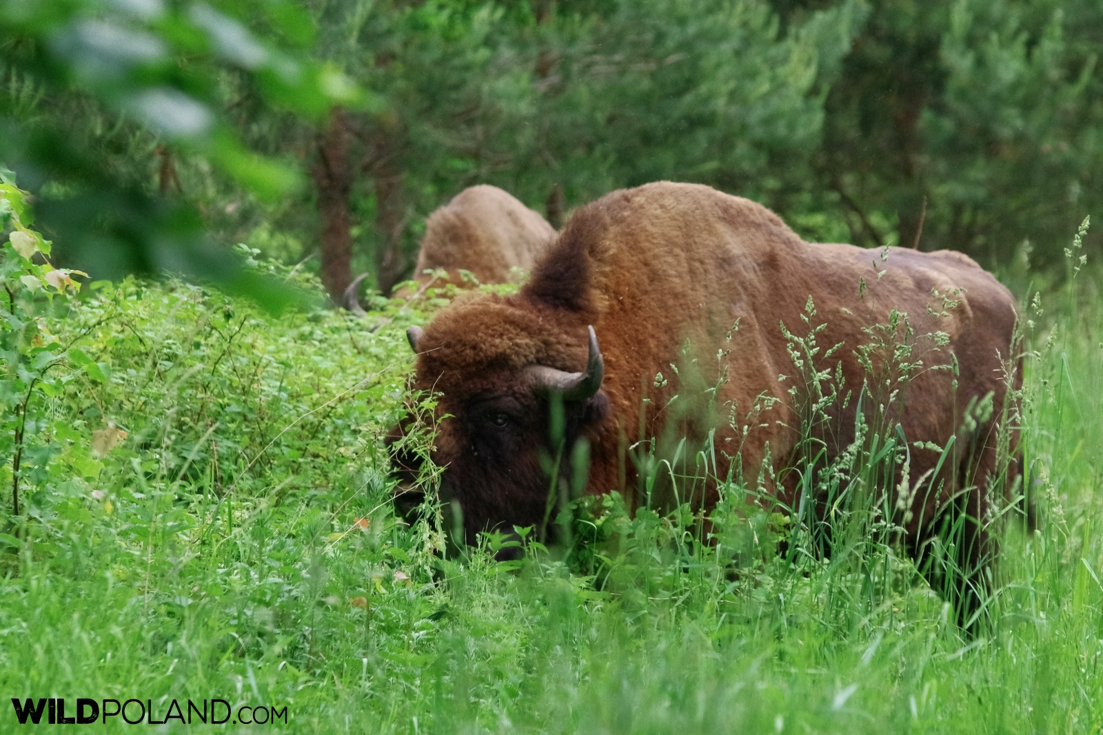 European bison bulls at the outskirts of Białowieża Forest, photo by Andrzej Petryna