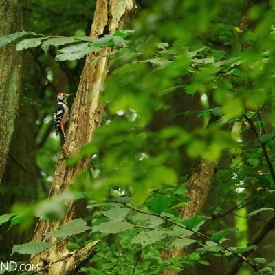 White-backed Woodpecker In The Białowieża Forest, Photo By Andrzej Petryna