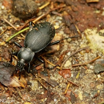 Leatherback Groud Beetle In The Białowieża Forest, Photo By Andrzej Petryna