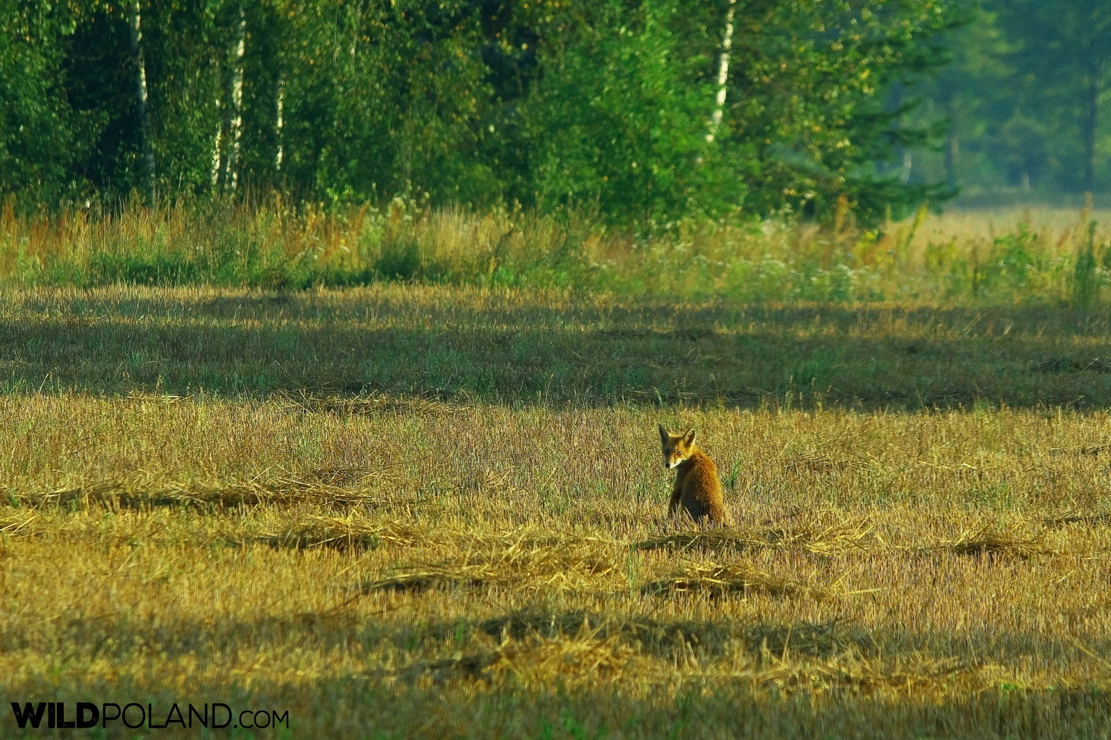 Red fox in the Białowieża Forest, photo by Andrzej Petryna