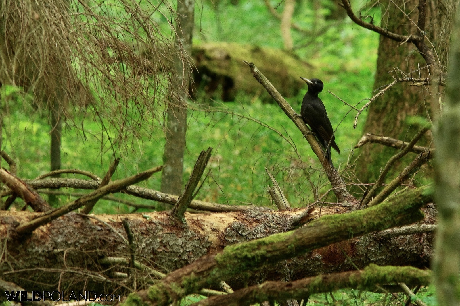 Black woodpecker in the Strict Protection Area of the Białowieża National Park, photo by Andrzej Petryna