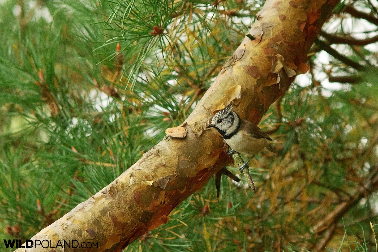 Crested tit, Biebrza Marshes, photo by Andrzej Petryna