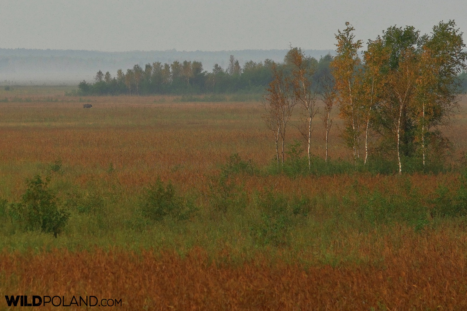 Bagno Ławki with an Elk (Moose) in a distance, Biebrza Marshes, photo by Andrzej Petryna