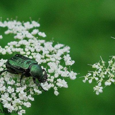 Hermit Beetle In The Białowieża Forest, Photo By Andrzej Petryna