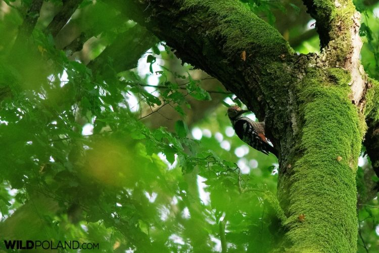 White-backed Woodpecker In The Strict Protection Area Of The National Park, Białowieża, Photo By Andrzej Petryna