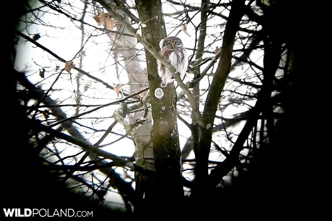 Pygmy Owl in the Białowieża Forest, photo by Piotr Dębowski