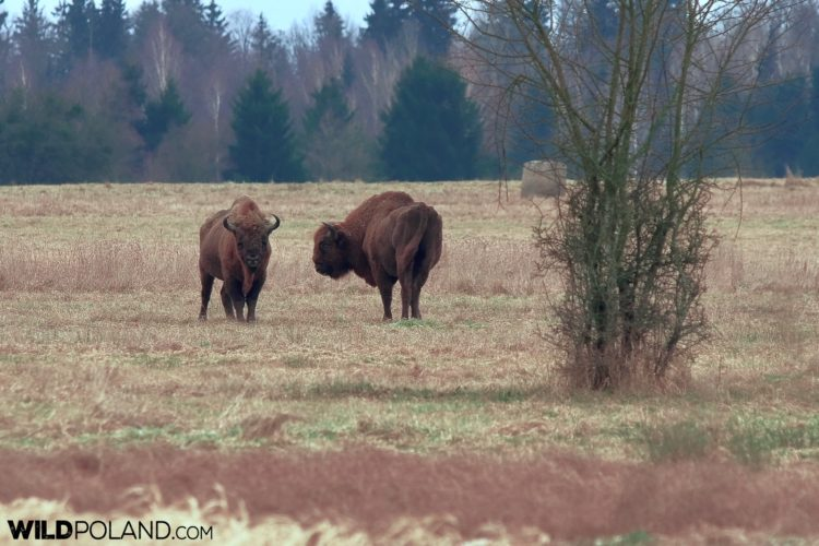 Bison Bulls At The Meadow In Białowieża Forest, Photo By Andrzej Petryna