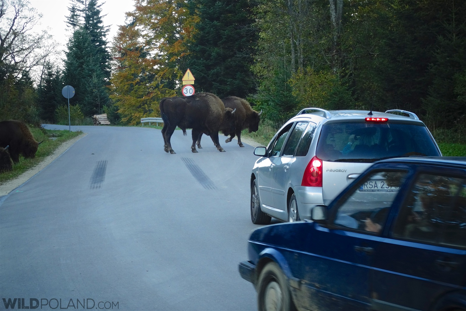 Europeqn Bison crossing road in the Eastern Carpathians, Poland