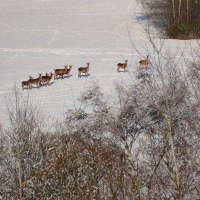 Red Deer Herd In The Slovakian Eastern Carpathians By Gotz Rahne