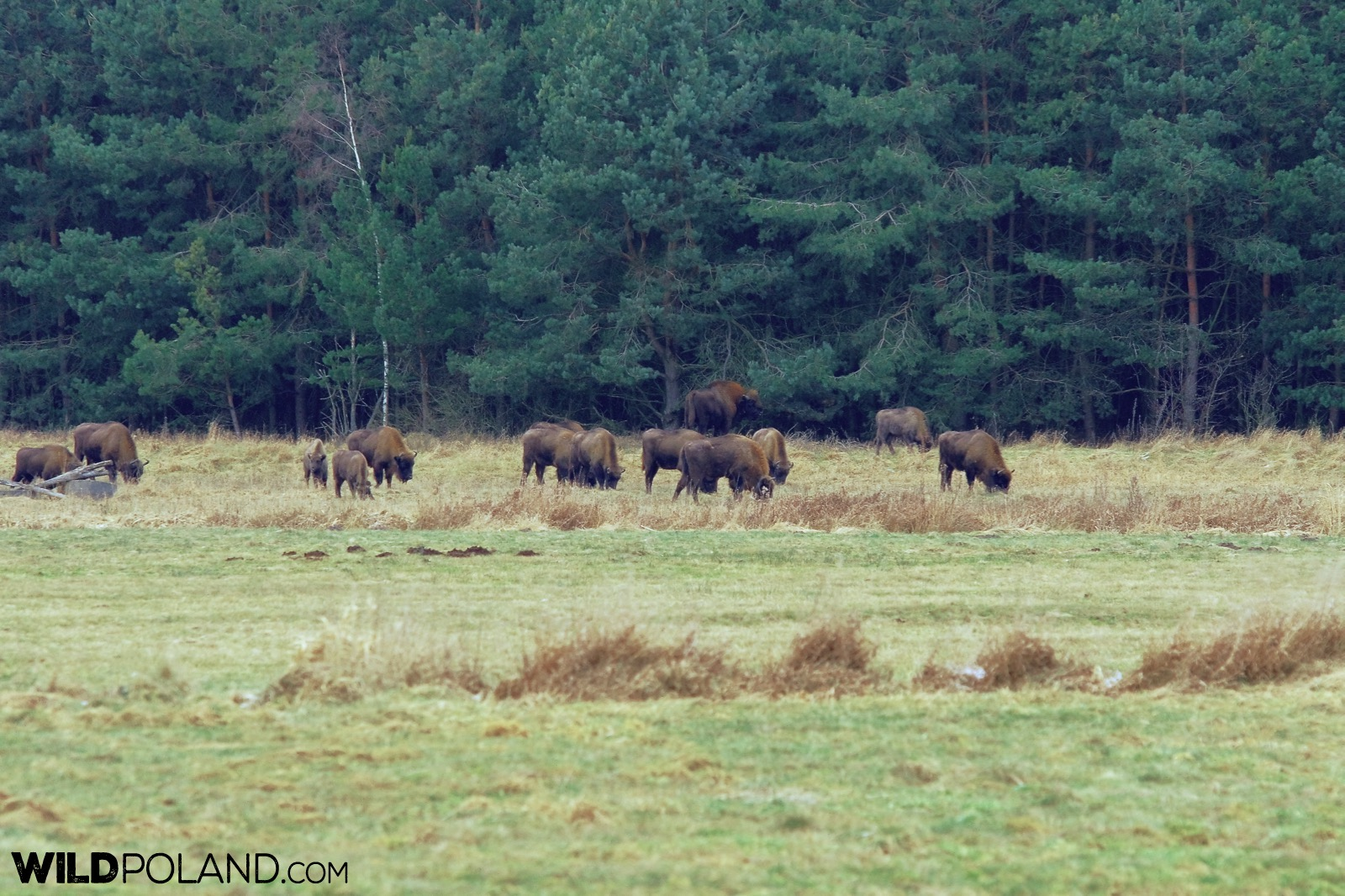 Herd of Bison feeding at the outskirts of Białowieża Forest, photo by Andrzej Petryna