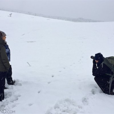 Tracking Wolf In The Fresh Snow