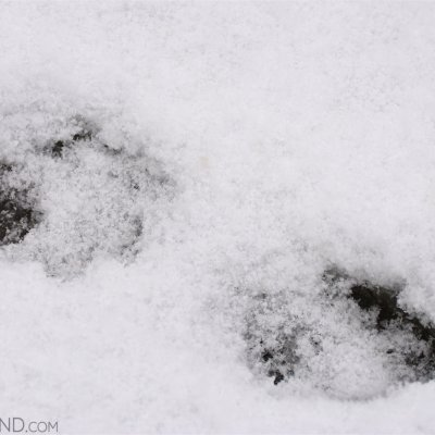 Wolf Footprints In The Fresh Snow By Gotz Rahne