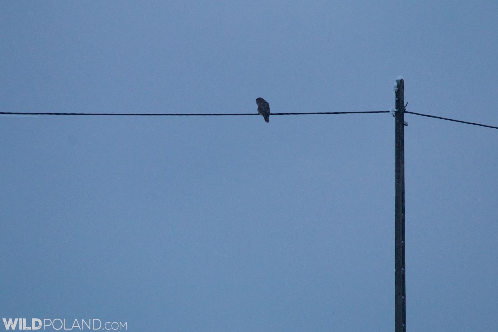 Ural Owl hunting at daybreak, Eastern Carpathians. We saw it getting a vole!