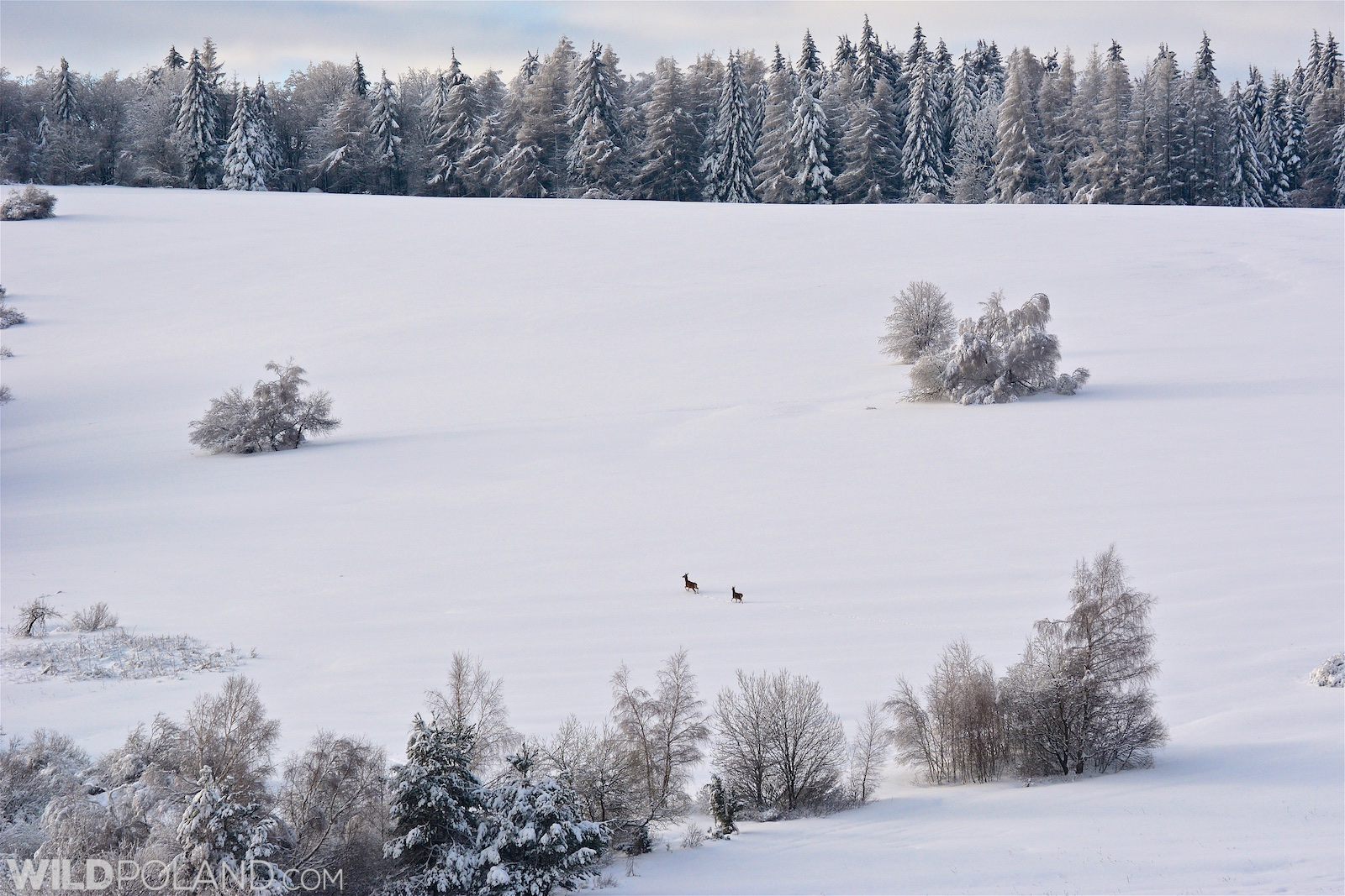 Red Deer in the Eastern Carpathians. Photo by Gotz Rahne