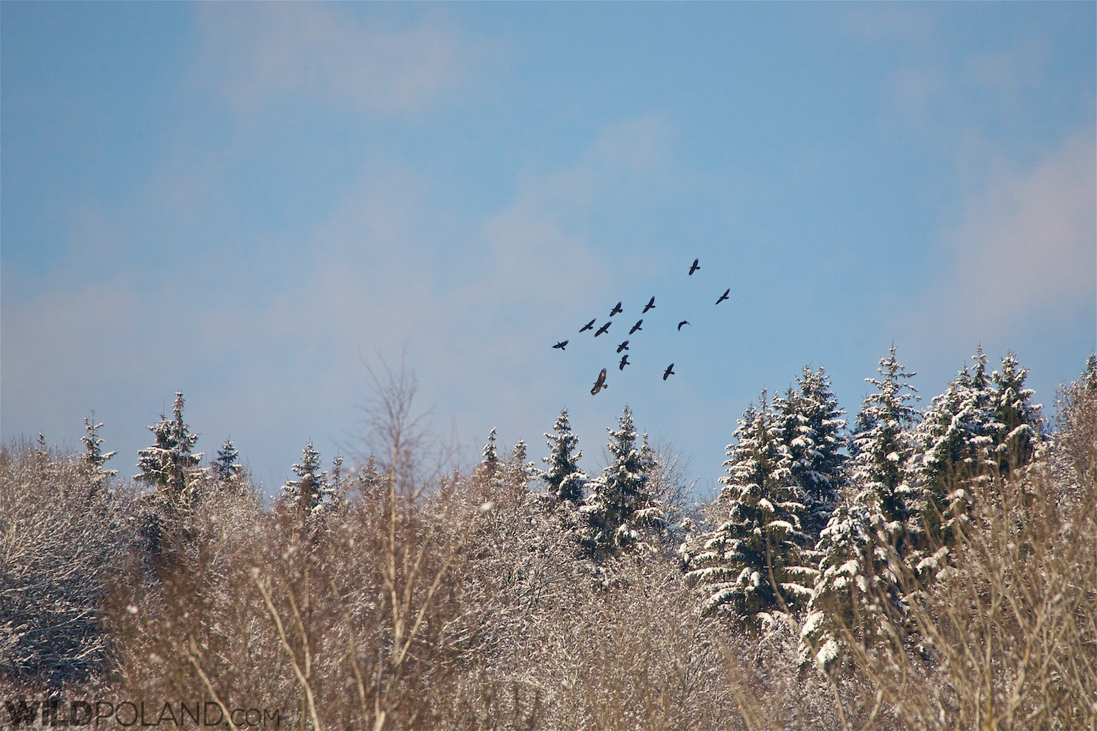 Golden Eagle mobbed by Ravens, Eastern Carpathians at wintertime. Photo by Murray Forbes