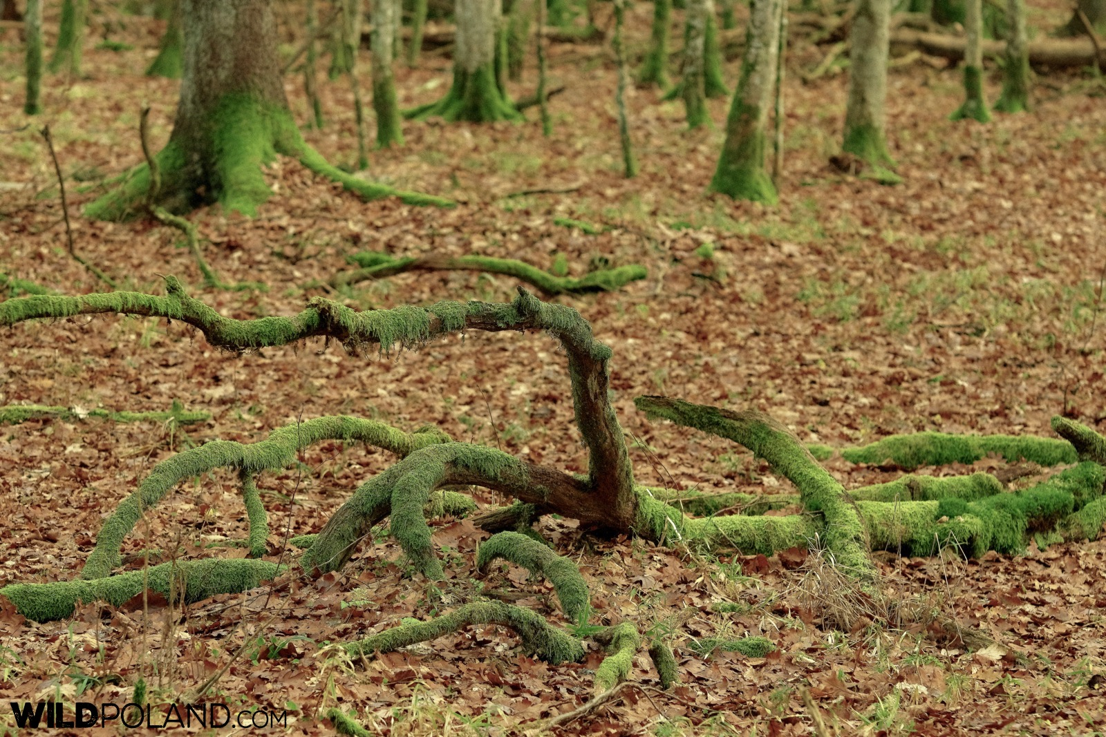 Inside the Strict Reserve in Białowieża National Park, photo by Andrzej Petryna