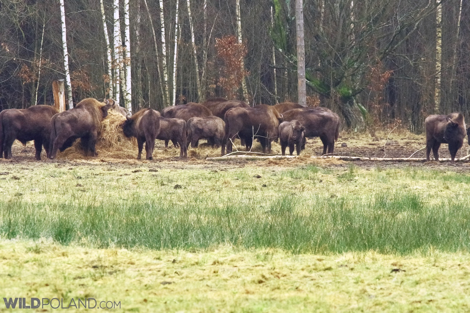 Mixed herd of Bison feeding in the north part of Białowieża Forest, photo by Andrzej Petryna