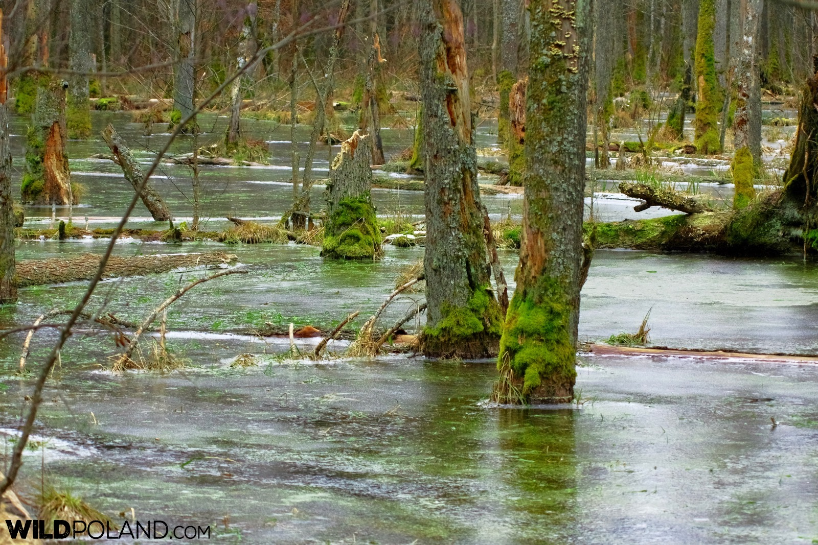 High water levels in the Białowieża Forest, photo by Andrzej Petryna