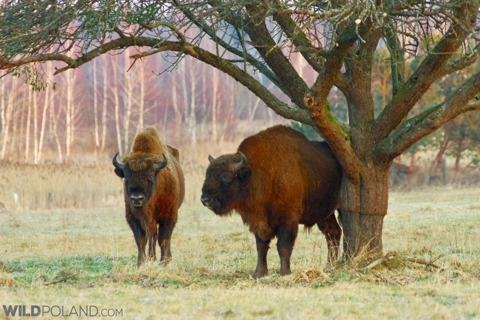 Bison bulls at the sunny meadow in Białowieża, photo by Andrzej Petryna