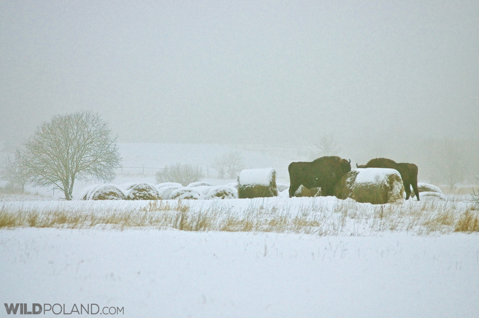 Bison at the winter meadow, Białowieża, photo by Andrzej Petryna