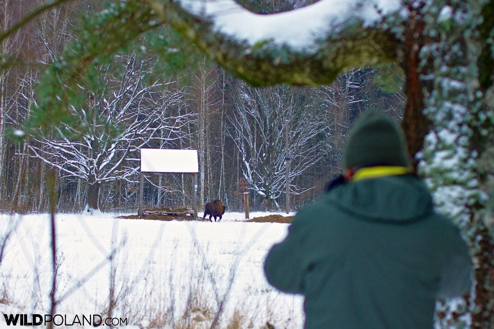 Bison at the feeding place, Białowieża Forest, photo by Andrzej Petryna
