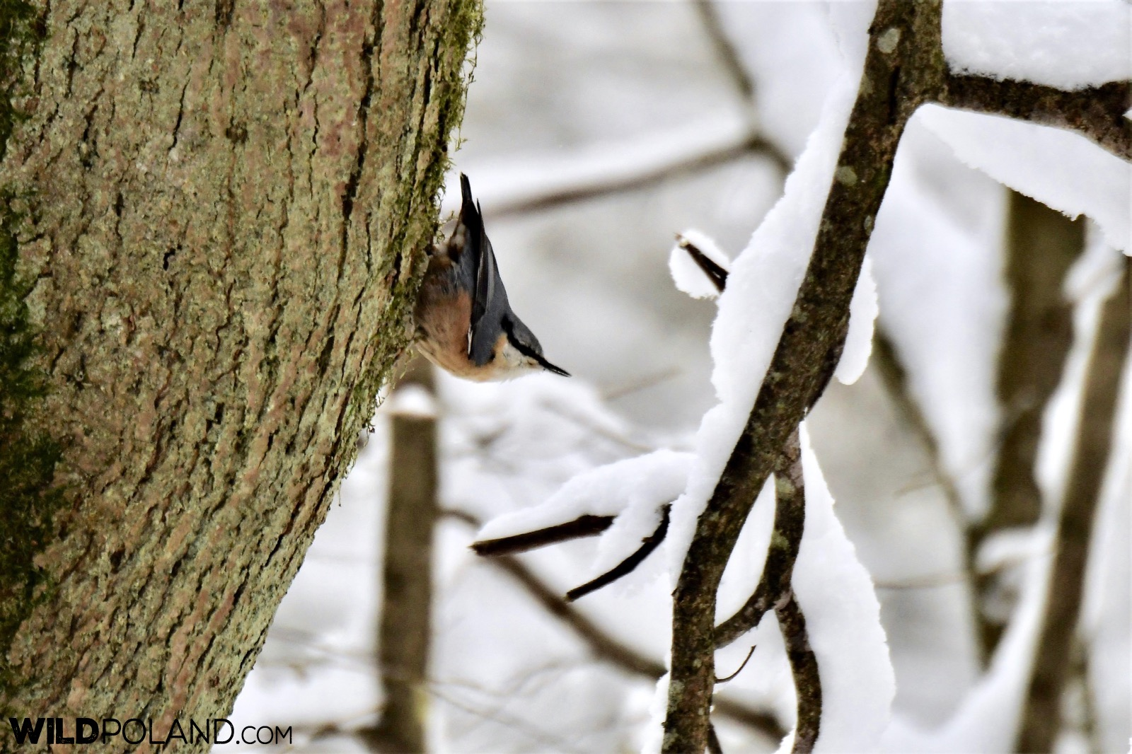 Nuthatch in the Białowieża Forest, photo by our local NP guide Joanna Smerczyńska