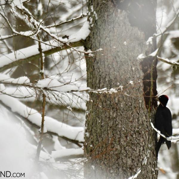 Black Woodpecker In The Białowieża Forest, Photo By Our Local NP Guide Joanna Smerczyńska
