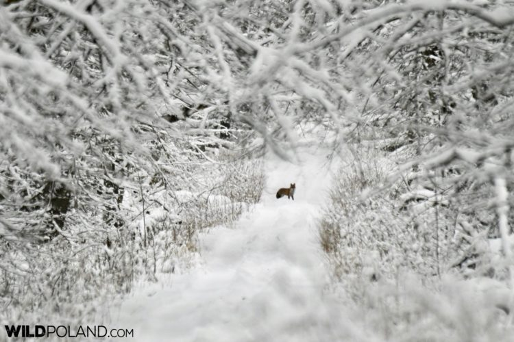 Red Fox In The Strict Protection Area Of The Białowieża National Park, Photo By Our Local NP Guide, Joanna Smerczyńska
