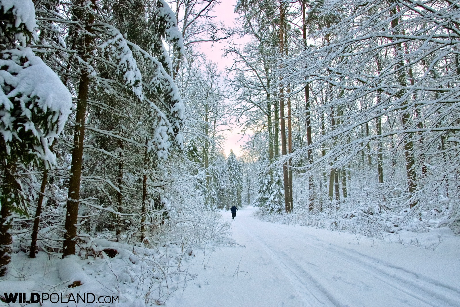 Walking through the snowy paths of Białowieża Forest, photo by Andrzej Petryna
