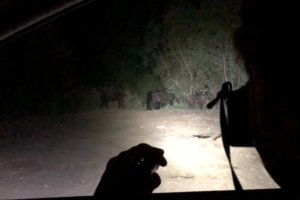 European Bison seen on a night drive in the Bieszczady Mountains, Eastern Carpathians