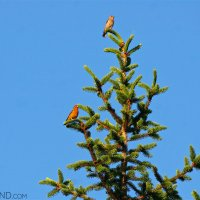 Crossbills Atop A Spruce Tree By Łukasz Mazurek