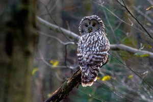 Ural Owl in the Eastern Carpathians by Zenon Wojtas