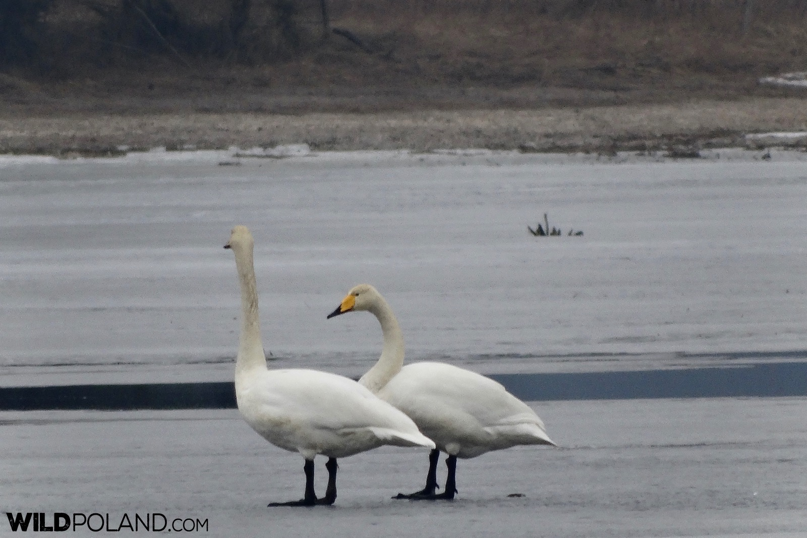 Whooper Swans at the frozen surface of the river, photo by Piotr Dębowski