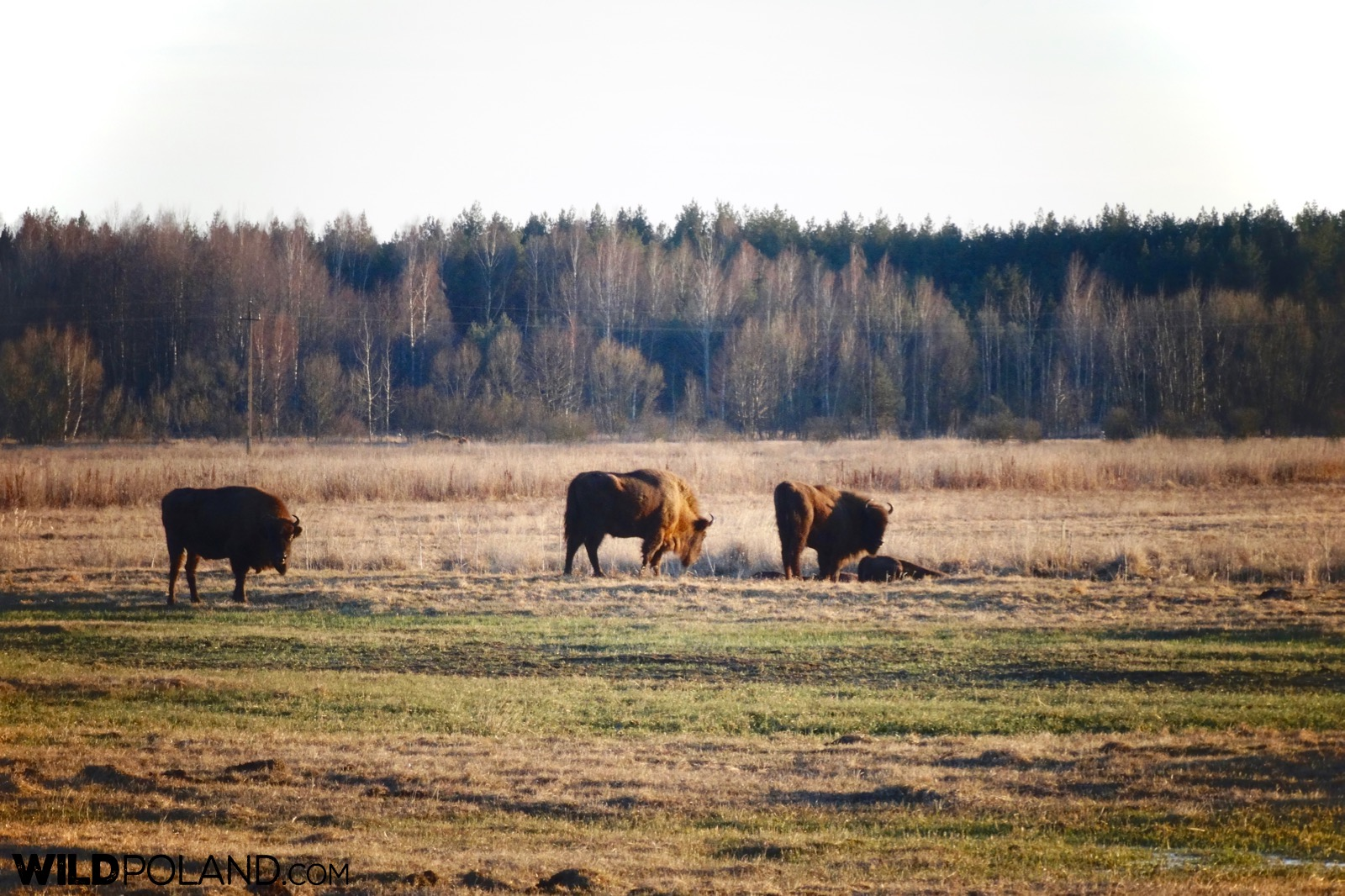 Bison at the meadow outside of Białowieża village, photo by Piotr Dębowski