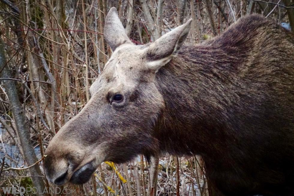 Elk (moose) Feeding At The Roadside At The Biebrza Marshes, Photo By Piotr Dębowski