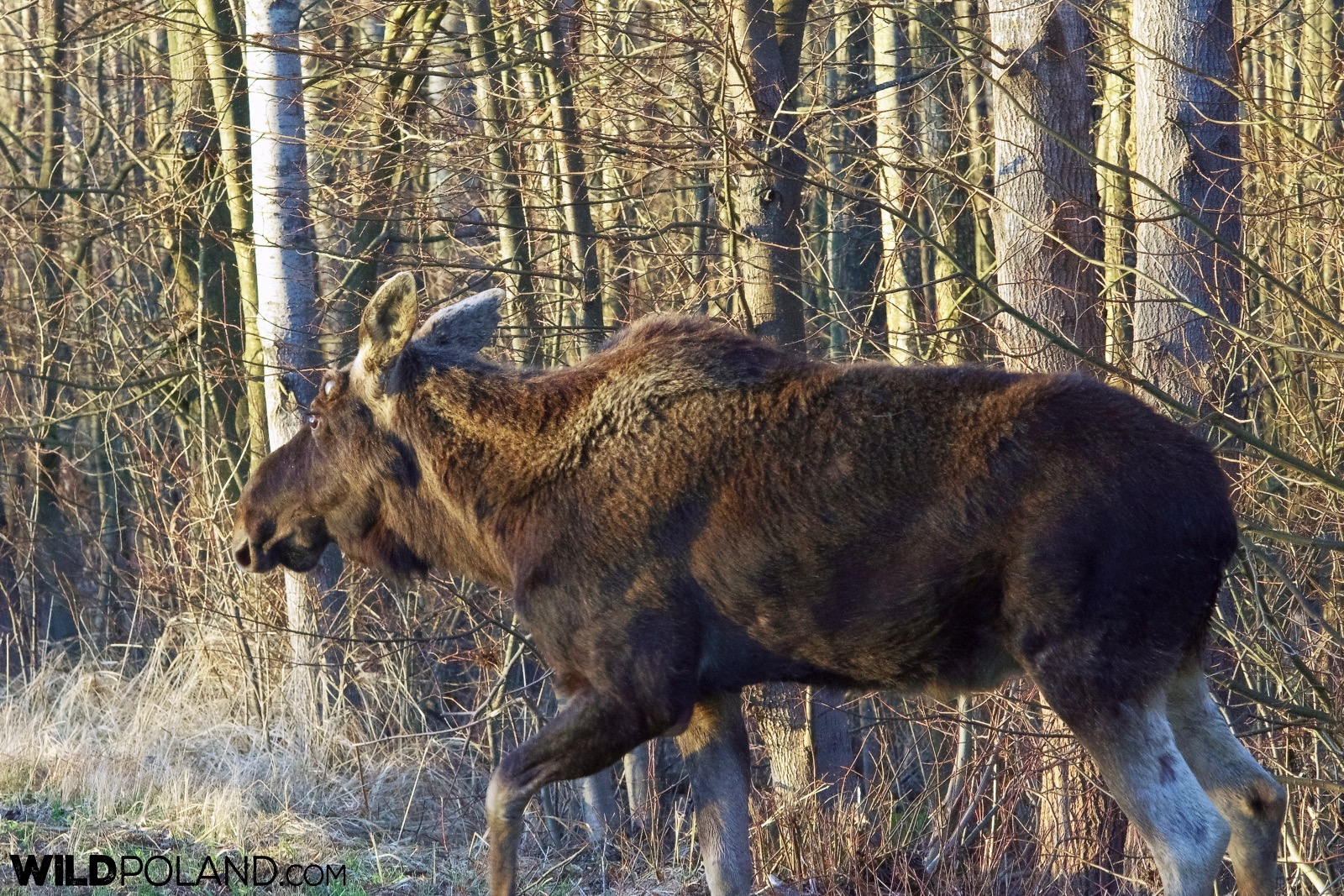 Elk (Moose) walking at the roadside at the Biebrza Marshes, photo by Andrzej Petryna
