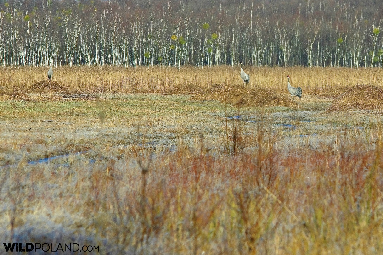 Cranes at the Biebrza Marshes, photo by Andrzej Petryna