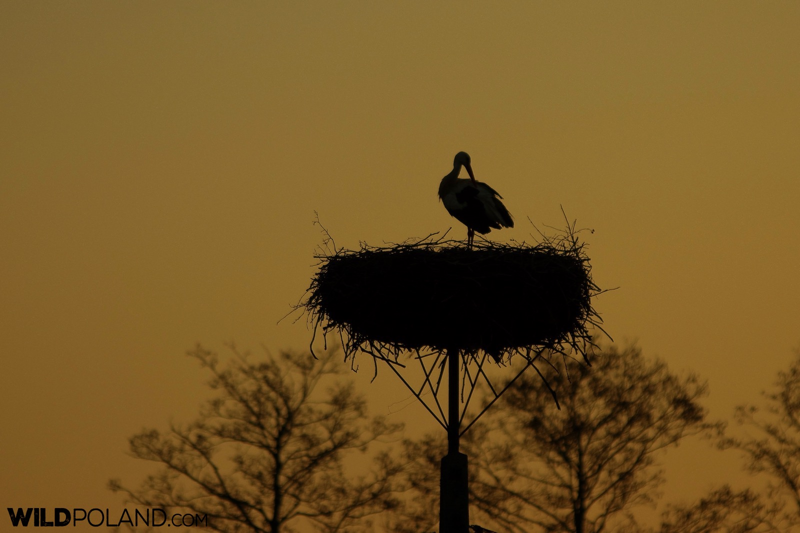 White stork at its nest against the first light of a rising sun, photo by Andrzej Petryna