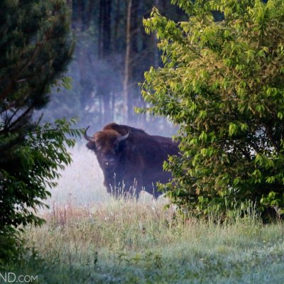 European Bison At Dawn In The Białowieża Forest