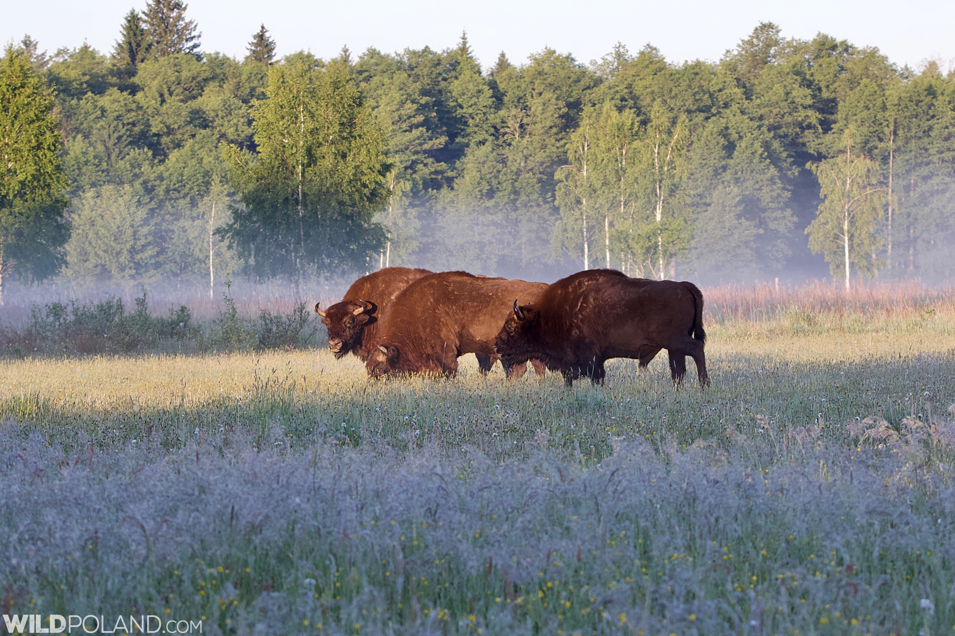 Bison in the Białowieża Forest, three bulls on a meadow at dawn.