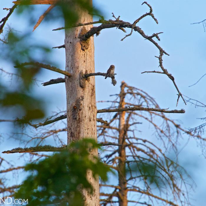 Pygmy Owl In The Białowieża Forest