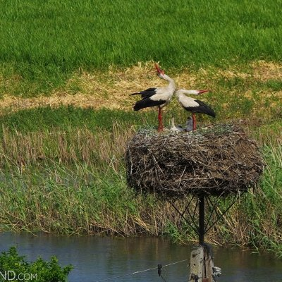 White Storks, Wild Poland Spring Wildlife Festival, May 2018