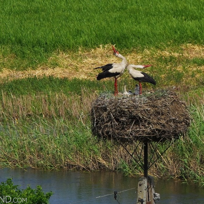 White Storks On Nest In The Biebrza Marshes