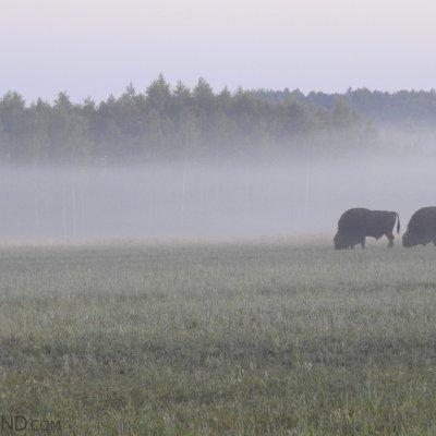 European Bison In The Białowieża Forest, Photo By Marta Świtała