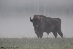 European Bison in the Białowieża Forest, photo by Marta Świtała