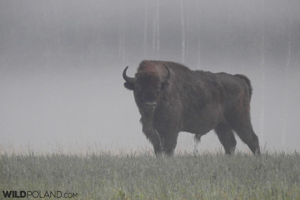 Bison Safari In The Białowieża Forest, Jun 2018